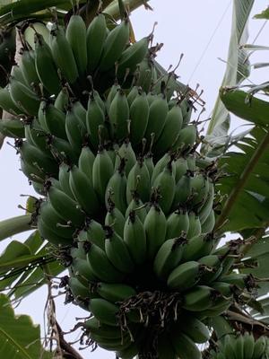 广东省惠州市惠城区粉蕉 七成熟