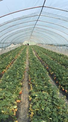 这是一张关于红颜草莓苗 10~20公分 地栽苗 的产品图片
