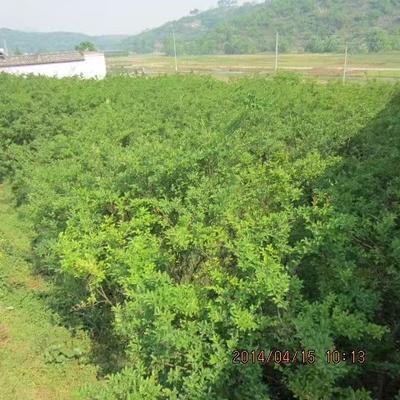这是一张关于红花紫薇 的产品图片