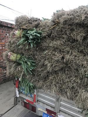 四川省成都市彭州市红根蒜苗 45 - 50cm