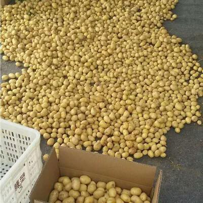 河南省濮阳市华龙区迷你土豆 1两以下