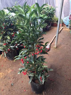 这是一张关于富贵籽盆栽 的产品图片