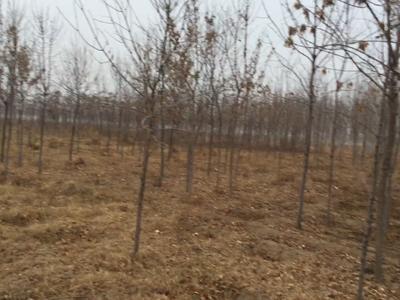 河北省保定市高阳县老式白蜡 2~2.5米