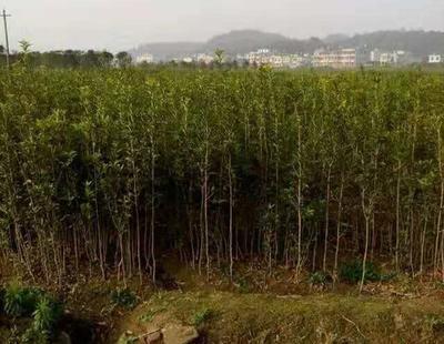 湖北省黄冈市罗田县桂花树