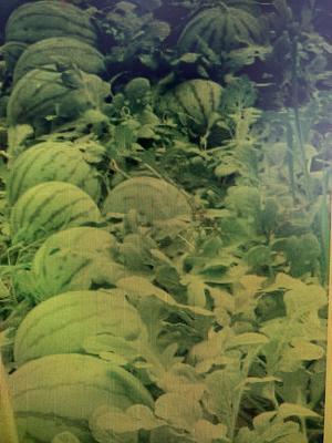 内蒙古自治区赤峰市林西县无籽西瓜 4斤打底 9成熟 1茬 无籽
