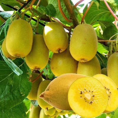 这是一张关于黄心猕猴桃苗 嫁接苗 的产品图片