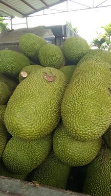 海南省三亚市天涯区海南菠萝蜜 15斤以上