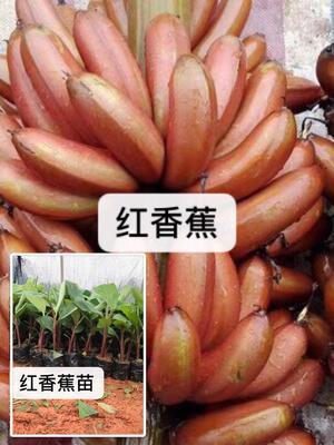 广西壮族自治区钦州市灵山县红香蕉红薯苗 15~25cm