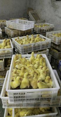 这是一张关于大白鹅苗 的产品图片