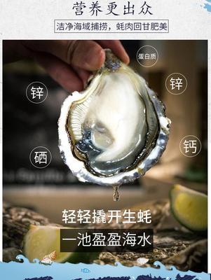 这是一张关于阳江生蚝 人工殖养 1-2两/只 的产品图片