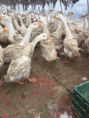 这是一张关于杂交鹅 6-8斤 半圈养半散养 统货 的产品图片