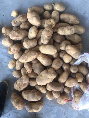 山东省青岛市平度市荷兰15号土豆 3两以上