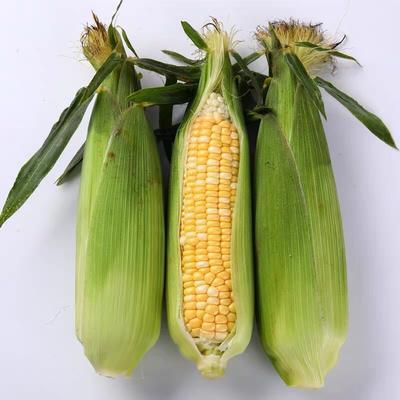 云南省昆明市嵩明县水果玉米 带壳 甜