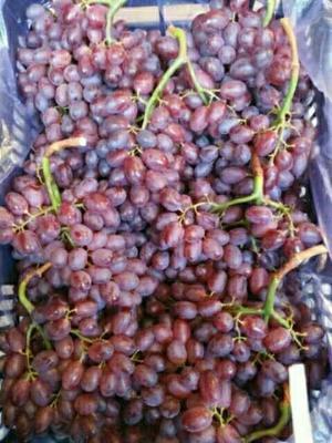 山东省烟台市龙口市克伦生葡萄 1-1.5斤 5%以下 1次果
