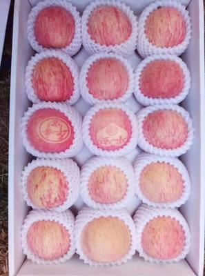 山东省烟台市福山区红富士苹果 75mm以上 条红 纸袋
