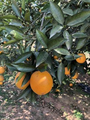 这是一张关于夏橙 70-75mm 4-8两 的产品图片