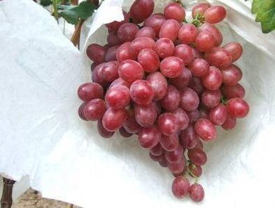 山东省烟台市蓬莱市克伦生无核葡萄 1.5- 2斤 10%以下 1次果