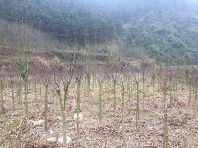 广西壮族自治区桂林市全州县中国红枫