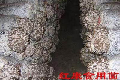 这是一张关于红蘑菇 人工种植 鲜货 各种菌种菌包,批发!的产品图片