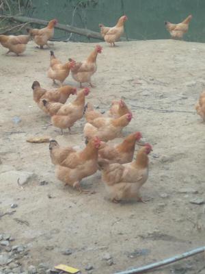 这是一张关于三黄鸡 4-5斤 母 的产品图片