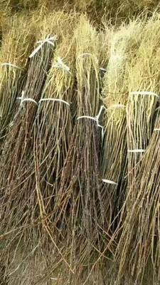 这是一张关于九叶青花椒苗 的产品图片