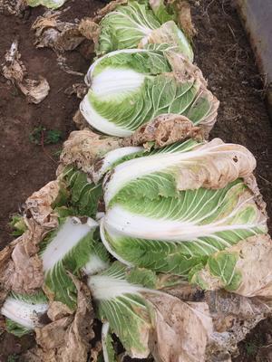 这是一张关于青杂三号白菜 6~10斤 净菜 的产品图片