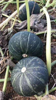 这是一张关于黑皮南瓜 1~2斤 的产品图片