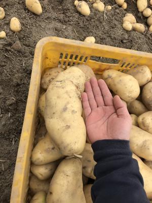 广东省江门市恩平市荷兰15号土豆 4两以上