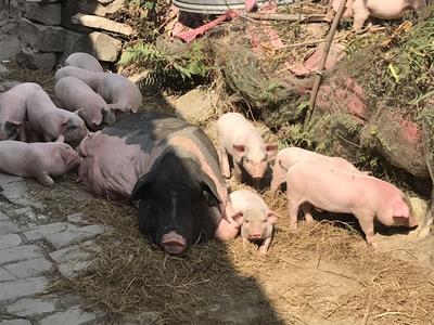 广东省湛江市吴川市长白猪 20-25斤