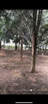 广东省深圳市龙岗区南方红豆杉 3.5米~5米