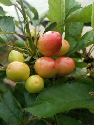 这是一张关于大樱桃 24-26mm 15-18g 的产品图片