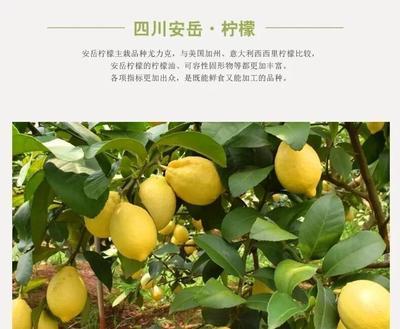 四川省资阳市安岳县尤力克柠檬 2.7 - 3.2两