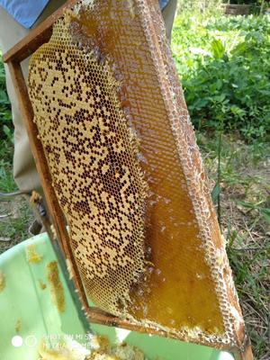 这是一张关于土蜂蜜 塑料瓶装 2年 90%以上 的产品图片