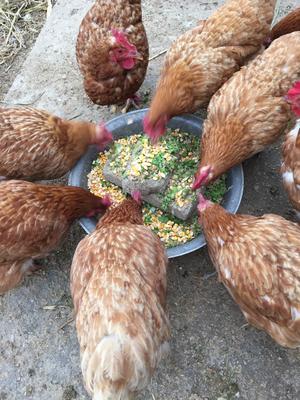 山东省威海市文登区土鸡蛋 食用 箱装