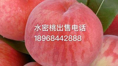浙江省台州市临海市水蜜桃 60mm以上 4两以上