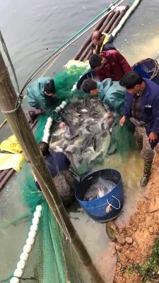 广西壮族自治区钦州市浦北县水库草鱼 人工养殖 1-2.5公斤
