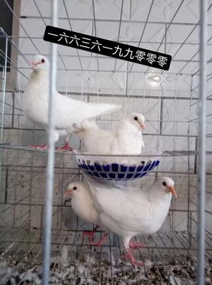 这是一张关于白羽王鸽 1000-1200克 还有其他规格的产品图片