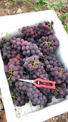 这是一张关于巨峰葡萄 1次果 10%以下 0.8-1斤 的产品图片