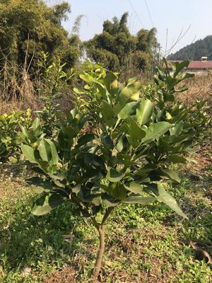 这是一张关于琯溪蜜柚苗 的产品图片