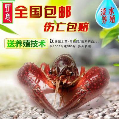 江西省上饶市鄱阳县龙虾苗
