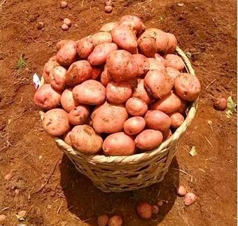 重庆九龙坡区合作88号土豆 统货