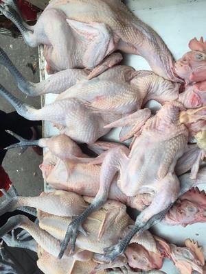 山东省枣庄市滕州市白条鸡 新鲜 淘汰蛋鸡