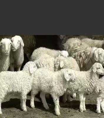 甘肃省武威市民勤县土羊 30斤以下