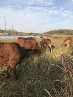 湖北省黄冈市武穴市土黄牛 400-600斤 母牛