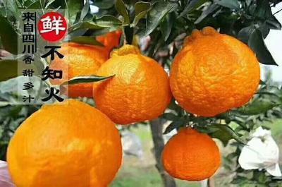 四川省自贡市荣县不知火 7.5 - 8cm 3两以上