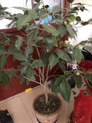 这是一张关于茶花树 100~140cm 的产品图片