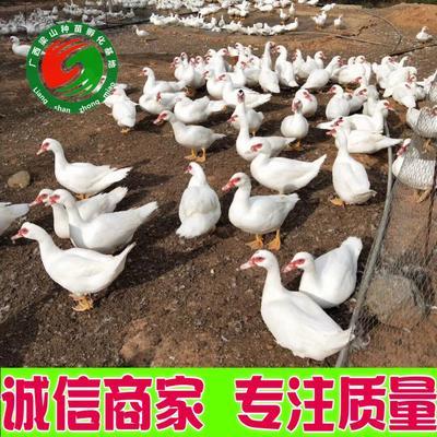 广西壮族自治区南宁市兴宁区大种白番鸭苗 火鸭苗  热卖中