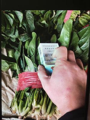 山东省济宁市金乡县大叶菠菜 10cm以下