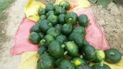 广西壮族自治区南宁市江南区绿皮南瓜 1~2斤