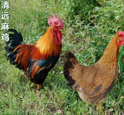 广西壮族自治区南宁市西乡塘区麻鸡苗